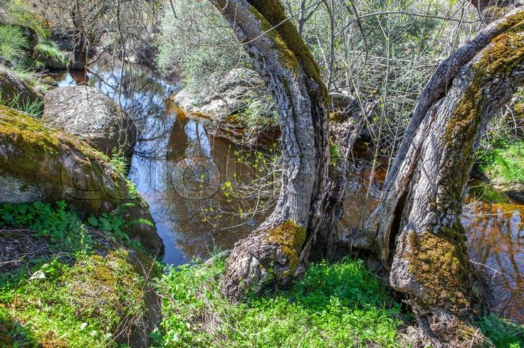 Stock image of 'Old trees at Berrocal of Rugidero, Cornalvo Natural Park, Extremadura, Spain. Muelas river course'