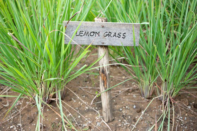 Great tips for growing, overwintering, using and storing lemon grass. It looks like an ornamental grass and also deters insects, can be used as for seasoning made into a tea