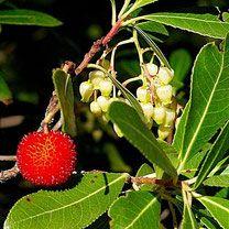 aardbeienboom, arbutus unedo, bessenstruik, fruit, bessen, bessenstruiken  Alles over bessen kweken, rassen, staplaats, verkooppunten, verzorging, oogsten.