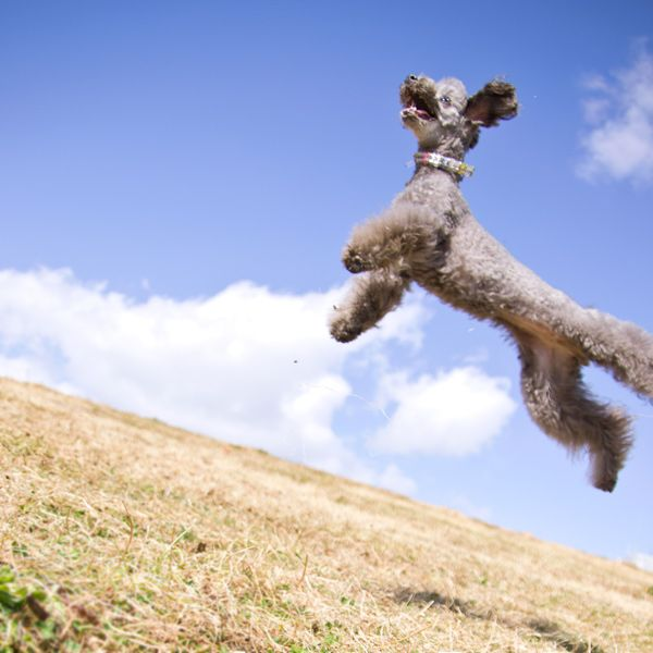 Winged Poodle.