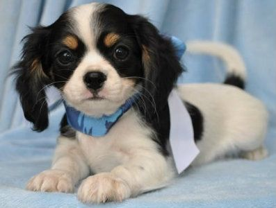 Chilier - Chihuahua and the Cavalier King Charles Spaniel Mix