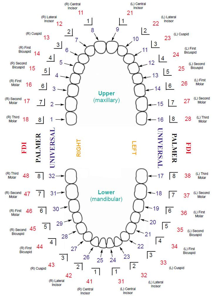 Updated Dental Tooth Numbering Chart with Multiple Systems Shown