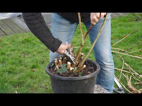 Hoe snoei je de Hortensia in de winter? Dat kan op 3 manieren. Tuinmanieren! - YouTube