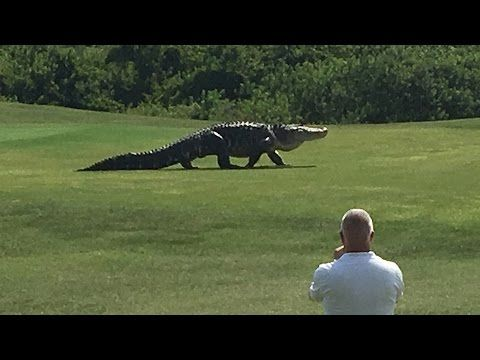 Giant Alligator Spotted on Florida Golf Course : snopes.com