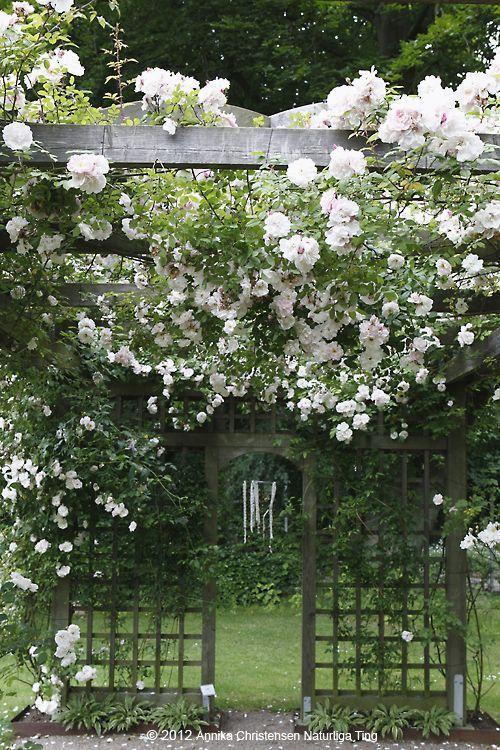 Climbing Roses Trellis Fence