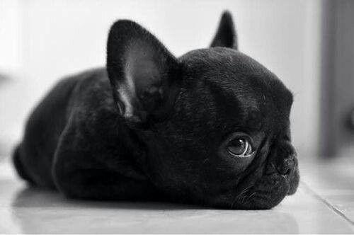 Bulldog Francês Preto