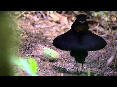 """BBC Planet Earth - Birds of Paradise mating dance   """"Very impressive... but no one is watching."""" hahaha"""