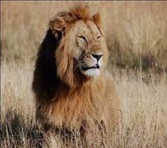 de leeuw, koning ter dieren. hij wordt maar ongeveer 10 tot 14 jaar oud, maar soms kan hij ongeveer 20 jaar worden. en hij wordt wel 220 tot 250 kilo.