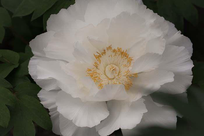 """""""To yumivega~白牡丹"""" 20.May.2015 UP遅くなりました〜m(_ _)m。白牡丹好きです〜♪ ただ撮っただけですが…てへへ"""