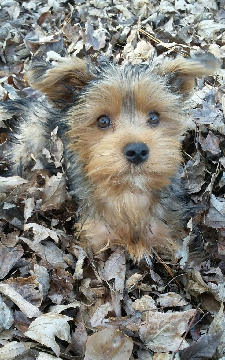 Molly Jane, yorkie playing in leaves in the autumn in SC.