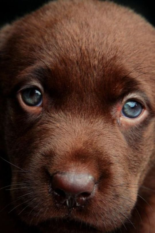 Cute chocolate Labrador Retriever puppy eyes