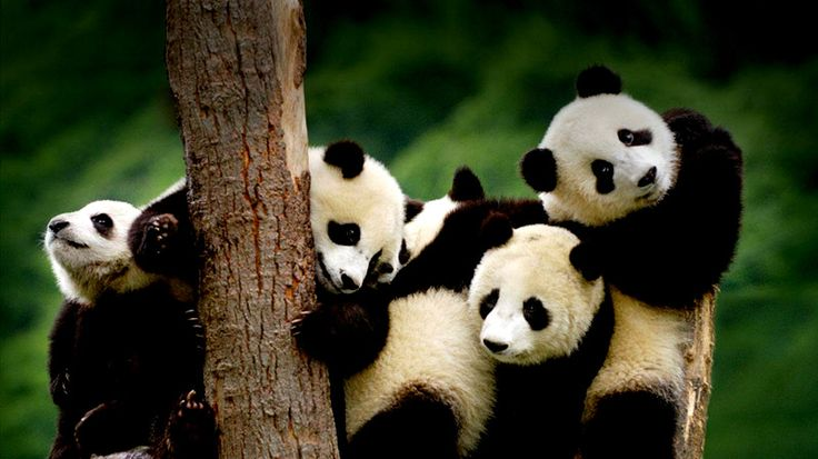 Top 10 Endangered Animals in China  http://absolutechinatours.com.au/top-ten-endangered-animals-china_tp.html