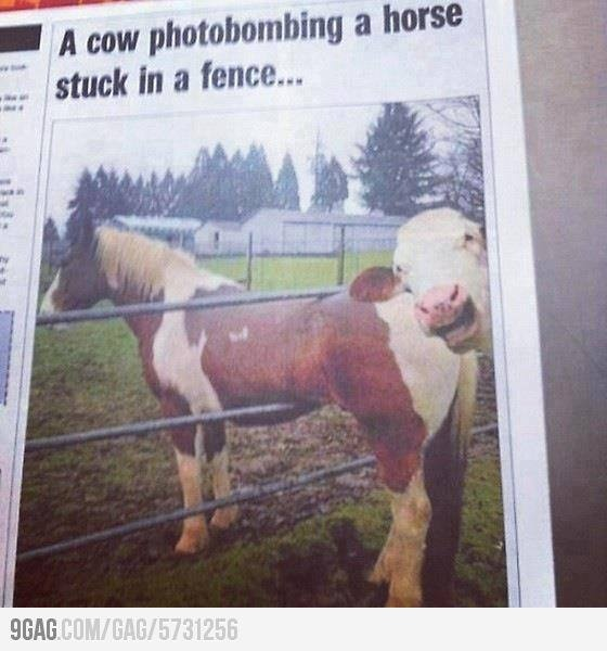 LMAOLike A Boss, Funny Comments, Awkward Moments, Except, Funny Pictures, Cows Photobomb, Funny Photos, So Funny, Animal