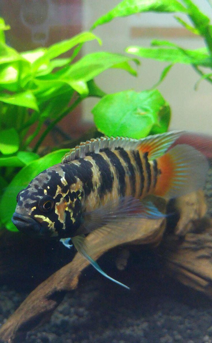 Freshwater aquarium fish melbourne - Ivanacara Adoketa Fish Aquariumsaquarium