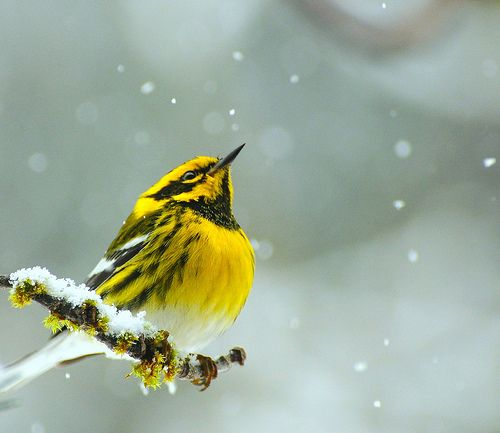 Townsends Warbler.  Counting Snowflakes