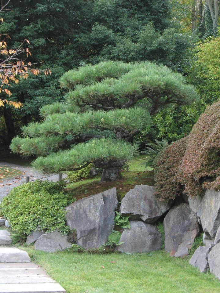 Pine Japanese Black Usu Tree Browser Japanesegardens Japanese Garden Design Japanese Garden Small Japanese Garden