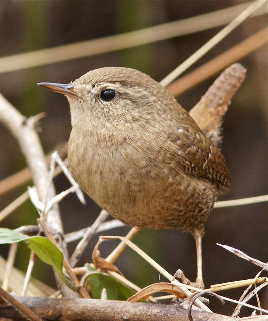 Le troglodyte mignon est avec le rouge-gorge, l'oiseau qui surveille le plus le jardinier -