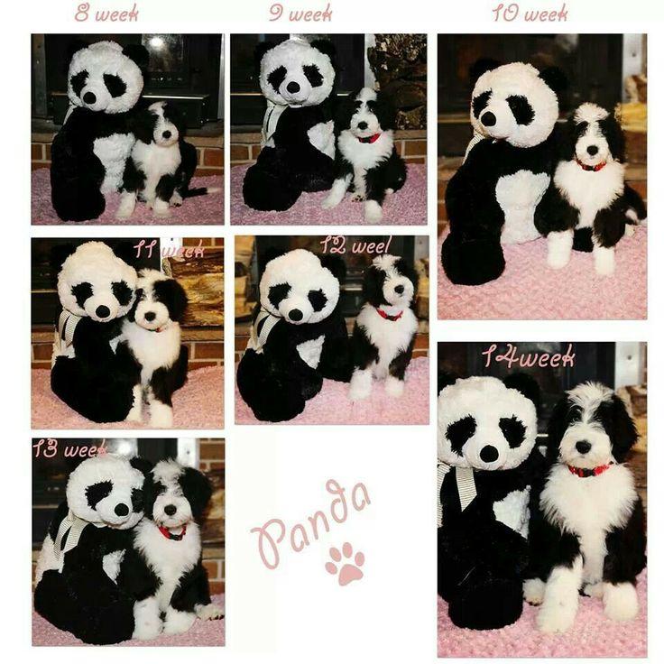 Sheepadoodle Panda... 8 weeks to 14 weeks.. You can follow me