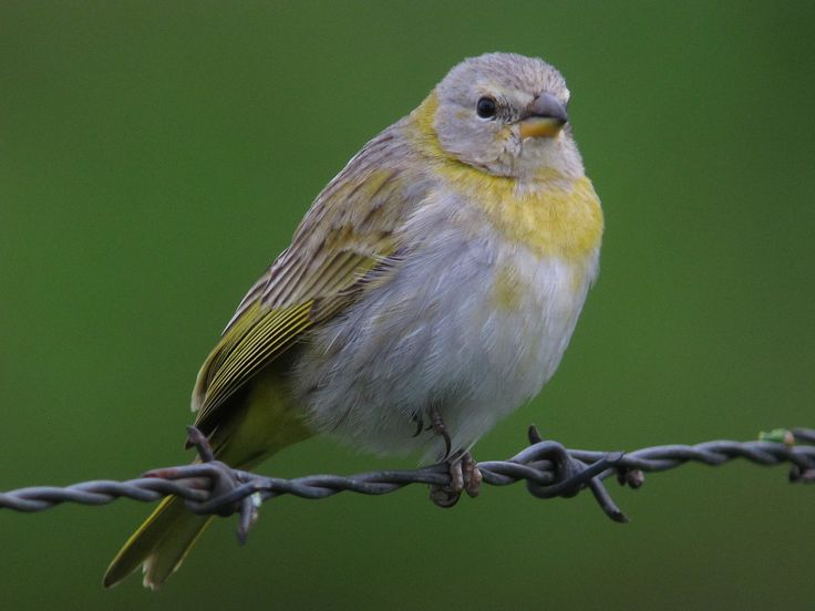 https://flic.kr/p/kMNkhN | Sicalis flaveola / Canario coronado / Saffron Finch (female) | Jardín, Antioquia, Colombia