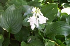 August Lily (Hosta plantaginea); Claimed to be the biggest flowering and most fragrant hosta. Ideal for giving some evening fragrance to shaded areas in late summer.