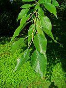 Maclura pomifera - Wikipedia