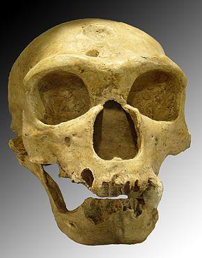 Crâne de Néandertalien: l'Homme de la Chapelle aux Saints. -  Représentant fossile du genre Homo. Il a vécu en Europe et en Asie occidentale au Paléolithique moyen, entre environ 250 000 et 28 000 ans avant le présent. Longtemps considéré comme une sous espèce au sein de l'espèce Homo sapiens, un séquençage de l'ADN néandertalien remet en question la thèse selon laquelle ces 2 groupes correspondent à des espèces distinctes.