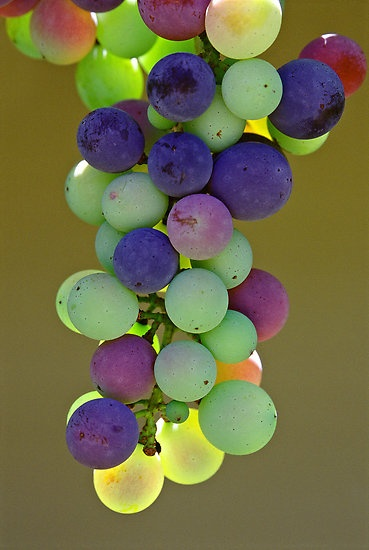 Rainbow Grapes - Hunter Valley, NSW by Chris Ellis
