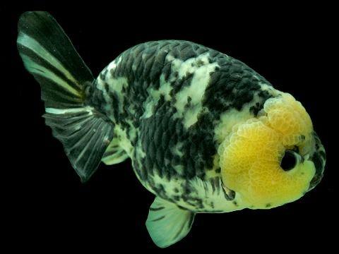 白黒透明鱗ライオンヘッド(しろくろらいおんへっど) 14C12516B-BC18-22 ranchu lionhead goldfish #aquariums