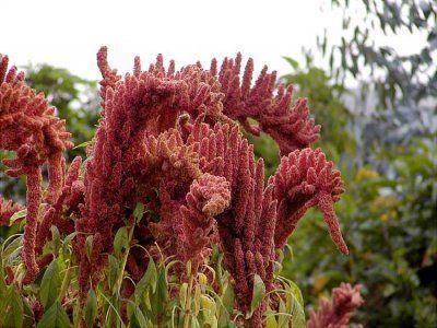 La naturaleza contraataca: amaranto inca devora transgénicos de Monsanto