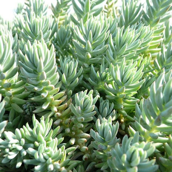 Drought Resistant Perennial Groundcover Blue Spruce
