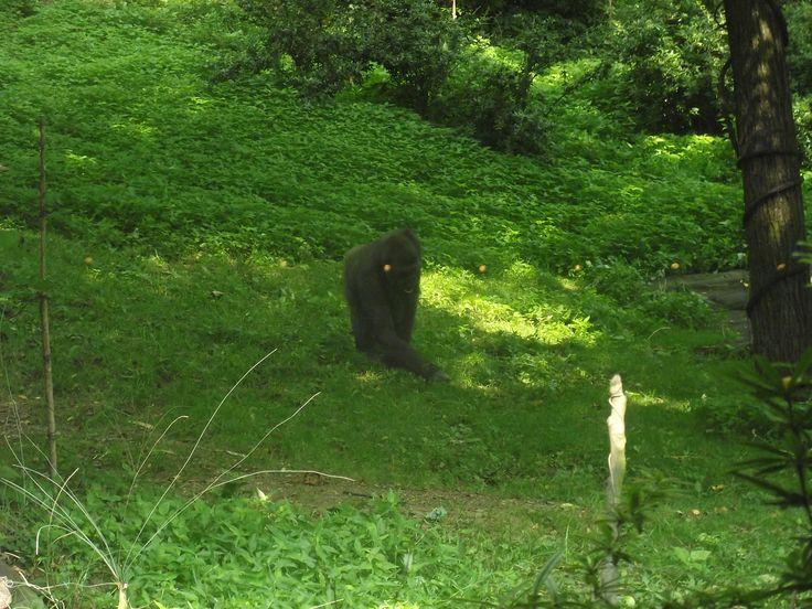 Gorilla allo Zoo del Bronx