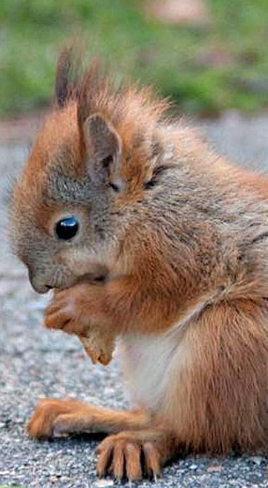 Baby Red Squirrel having some nibbles...