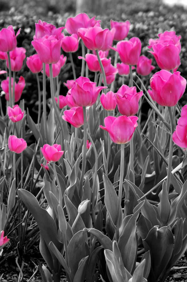 Color splash ⋆✩ pink and grey ⋆✩ tulips