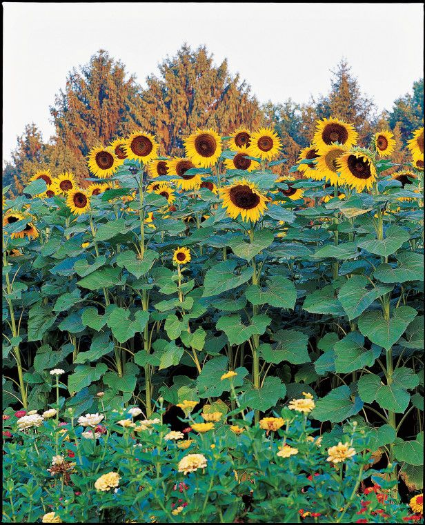 Sunflower Garden Ideas sunflowers and tomatoes are great companion plants the sunflowers attract pollinators which then pollinate the Tall Tiny Sunflower Varieties American Giant Http