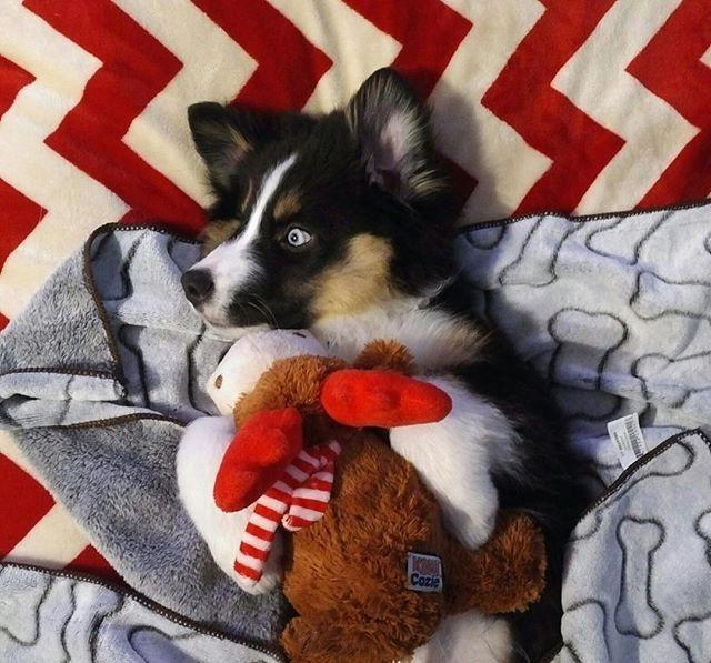 Hey guys!  Meet @radarluvharker - hes a newborn Australian Shepherd from Maple Ridge BC Canada.  Give Radars Instagram a follow and show him some love.