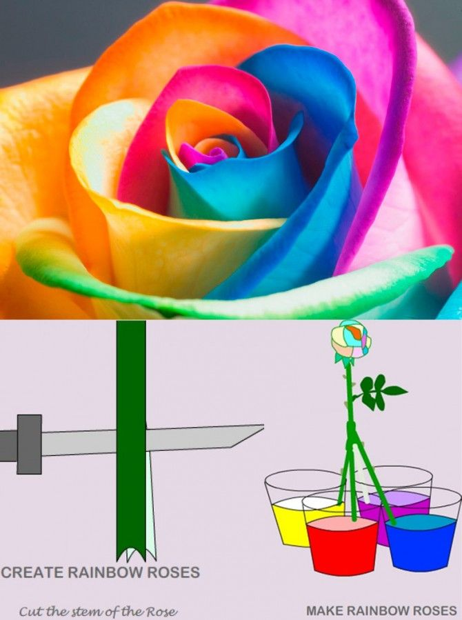 DIY IDEAS: How to make Rainbow Roses: a Step by Step