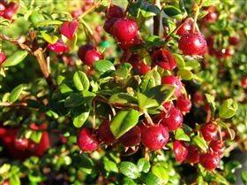 Myrtus ugni Syn. Ungi molinae (N.Z. Cranberry)