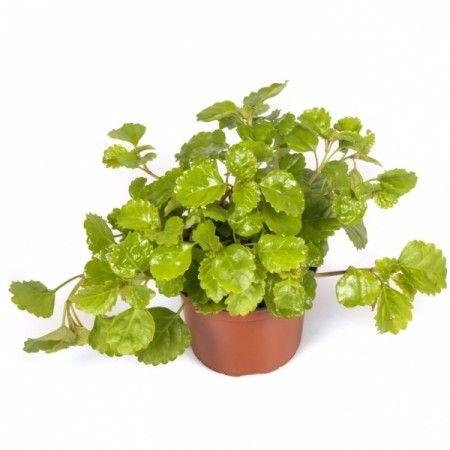 plantas para el dinero