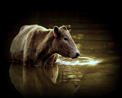 swimmingSunsets Swimming, Breath Creatures, Peace Pictures, Brown Cows, Amazing Creatures, Swimming Cows, Teas Cake, Animal Feelings Every, Beautiful Cows