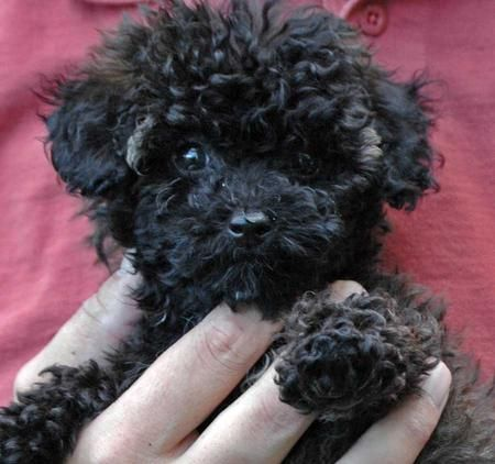 I would love to have a Maltipoo! Please and Thank you!!!
