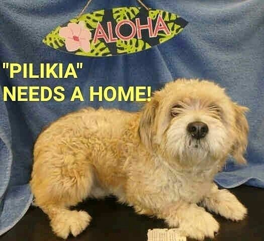 7 21 18 The Hawaiian Dog Pilikia He Is So Cute His Name Is Hawaiian Meaning Trouble But He S No Animal Rescue Dogs Animal Shelter Cockapoo D