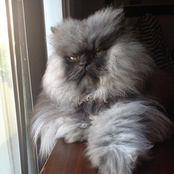 Persian cat loud meow