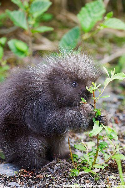 Baby Porcupine, Seward, Alaska  #wildlife #alaska #cutecritters