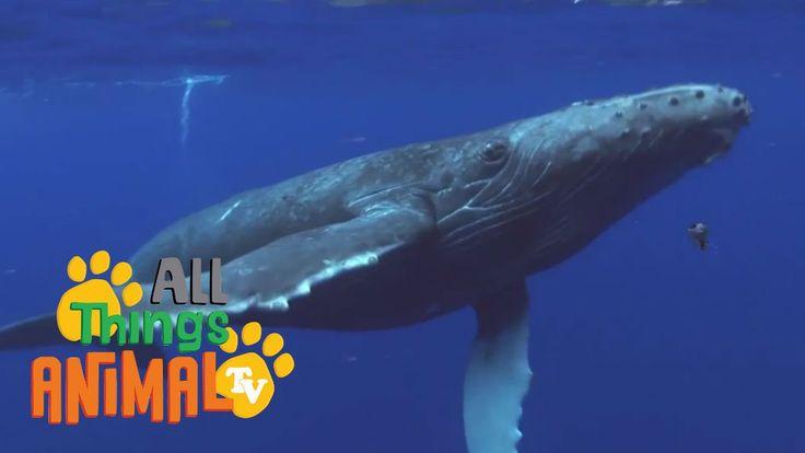 HUMPBACK WHALES | Animals for children. Kids videos. Kindergarten | Pres...