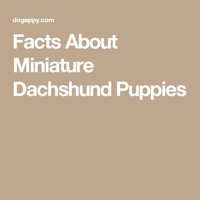 Facts About Miniature Dachshund Puppies