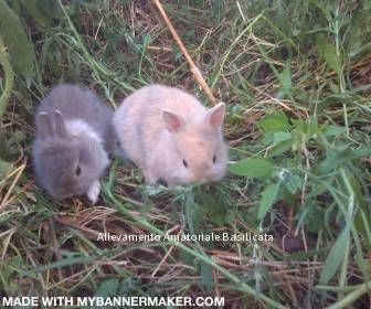 Allevamento Amatoriale Basilicata: Conigli naniDisponibili bellissimi coniglietti ve...