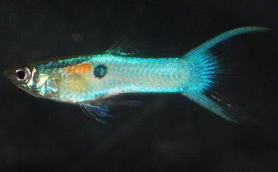 LIVE ~ Tropical Fish ~ BLUE Japanese LYRETAIL Endlers ~ Endlers ...