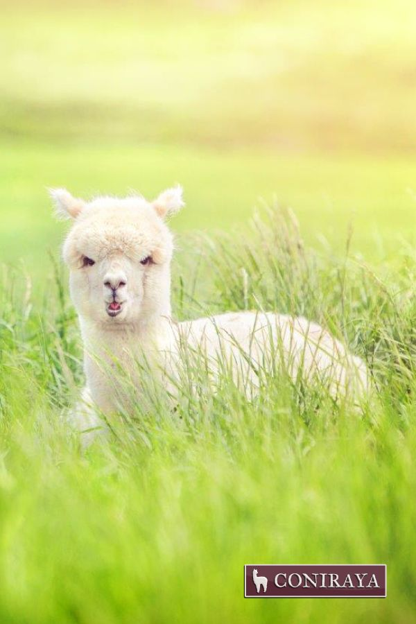 I hate Mondays! Sigh... #alpaca #coniraya #alpakino #alpacas #farm