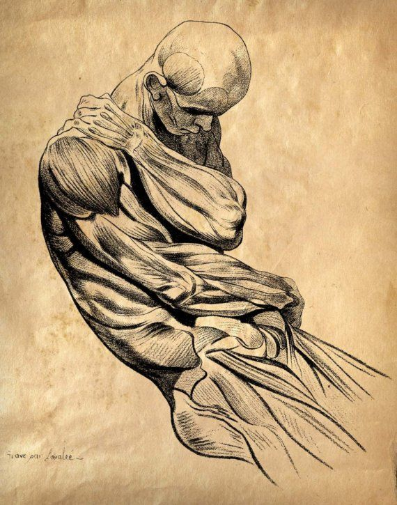 Vintage Anatomy Muscle Sketch: 11x14: Jacques Gamelin, Anatomy Art, Anatomical Art, Muscle Sketch, Human Anatomy, Vintage Anatomy, Anatomy Muscle, Sketch Human, Human Body
