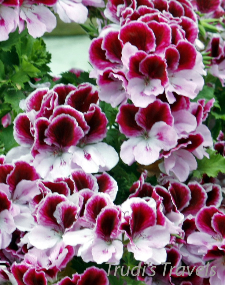 Martha Washington Geraniums- much prettier than others to me. - Beautiful - almost looks like a group of 'pansies'!